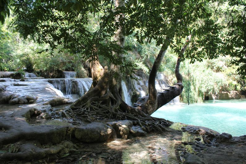 A popular pool at Tat Kuang Si Waterfall where the brave climb out on to the tree before swinging like Tarzan into the fresh water