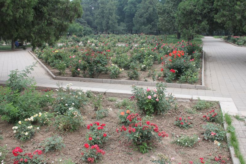 Rose garden in the park around the Temple of Heaven