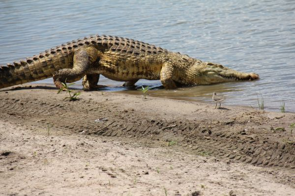 Crocodiles are a common sight at Lake Manze and happily co-exist with the hippos.