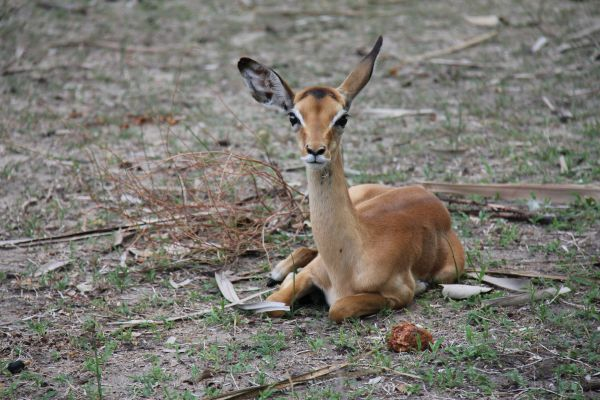 An impala. You'll see hundreds of these at Lake Manze, including in and around the camp.