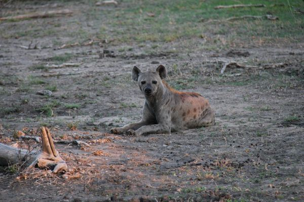 A lonesome hyena relaxing in the last sunlight of the day