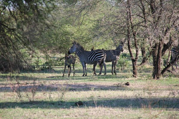 Why do zebras have back and white stripes? No one knows for sure!