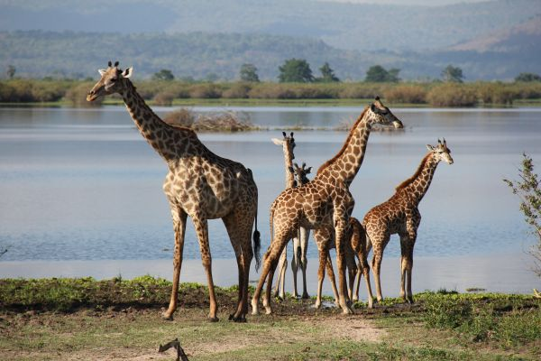 A group of giraffes by the water of Lake Manze.