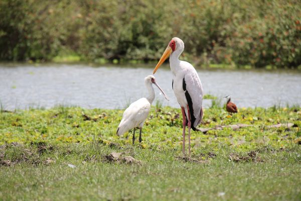 There is a huge variety of birdlife that gather around the abundant waters of this part of Selous.